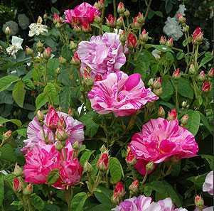 Парковые розы обрезка на зиму